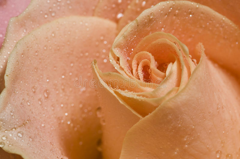 Download Wet Close Up Of Rose Stock Photos - Image: 27032743