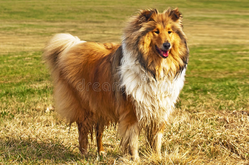 Wet collie dog royalty free stock images