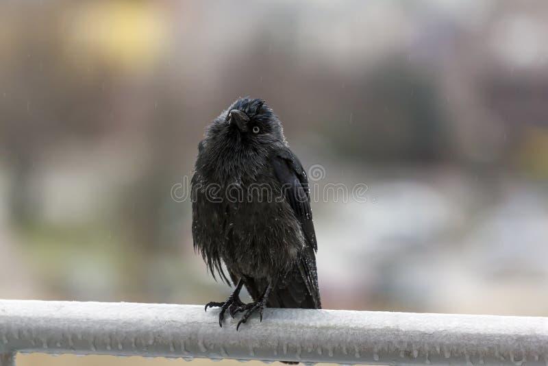 Wet crow in the rail sitting on balcony rai royalty free stock photos