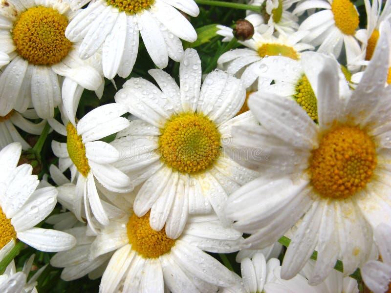 Wet daisies stock image
