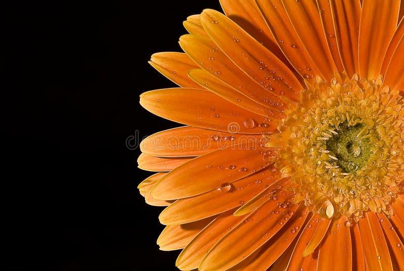 Wet daisy royalty free stock photos