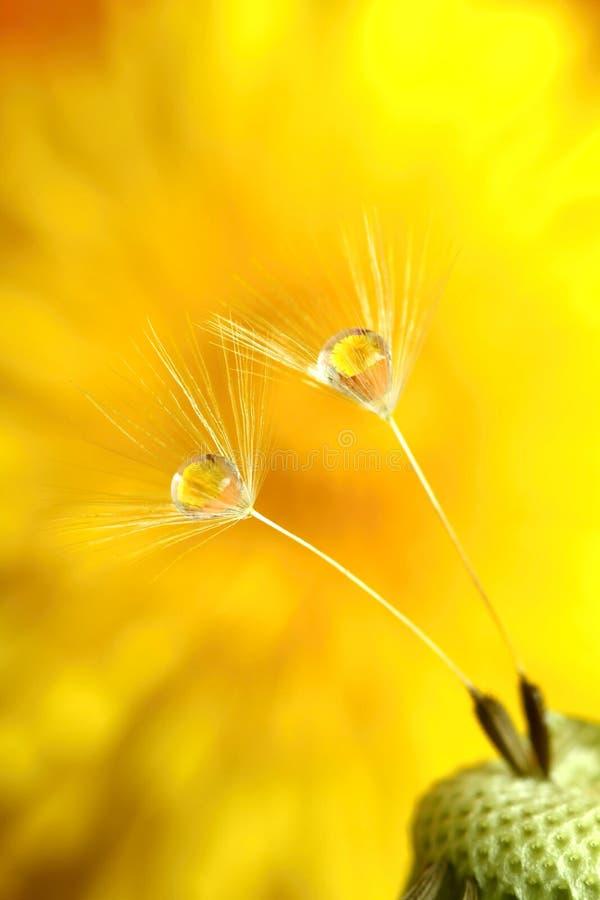 Wet dandelion. Macro of drops on dandelion overbloom royalty free stock photography