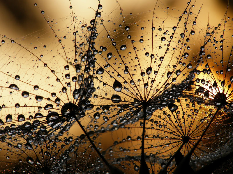 Wet dandelion seed royalty free stock photo