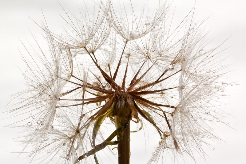 Wet Dandillions On A Stem Royalty Free Stock Images
