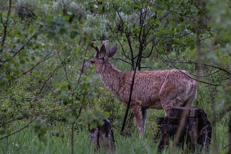 Wet Deer in Forest stock images