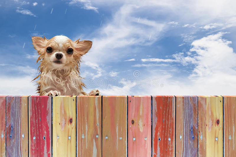 Wet dirty chihuahua dog look through a rustic wooden fence royalty free stock image