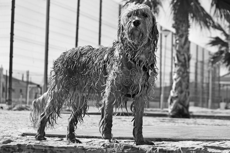 Download Wet dog stock image. Image of brown, standing, looking - 10000267