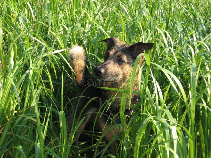 Wet Dog Royalty Free Stock Images