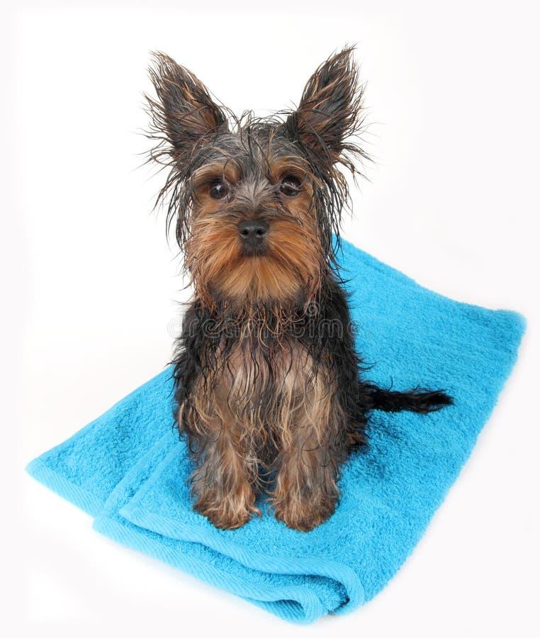 Wet dog after bath. Sitting on blue towel