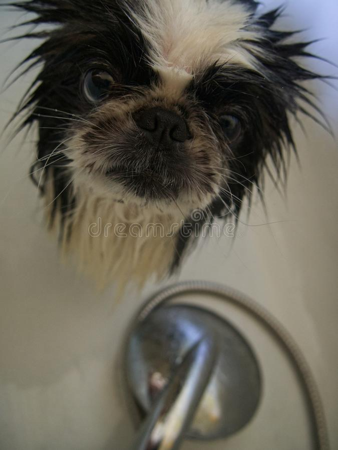 Dog in the shower royalty free stock images