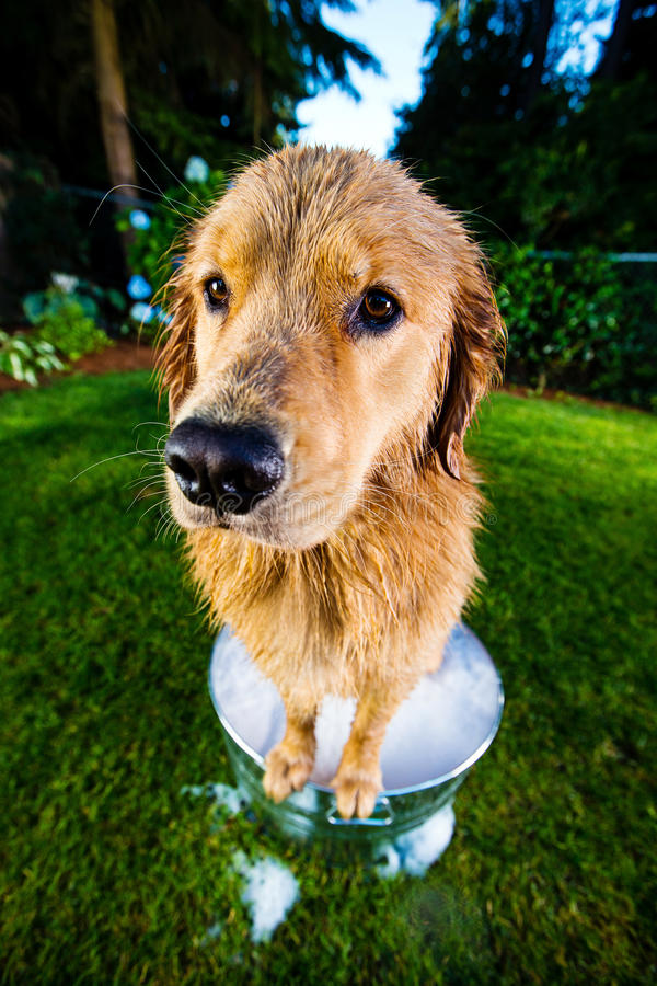 Download Wet Dog in a bubble bath stock photo. Image of snout - 26337024