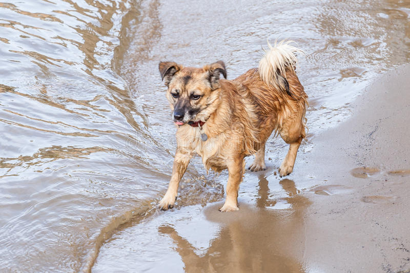 Wet Dog with Collar on Beach Playing with Waves. Cute little wet brown and black dog with red collar and tongue out playing with water at the edge of the waves royalty free stock image