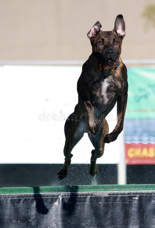 Download Wet dog jumping off dock stock photo. Image of dog, dive - 26254664