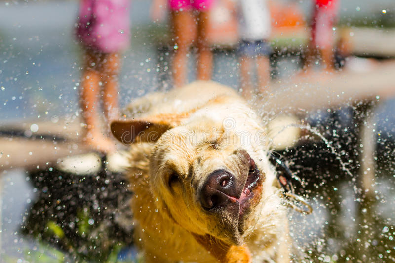 Wet dog shake his head. Funny summer background concept. Wet dog shake his head and splash water royalty free stock photos
