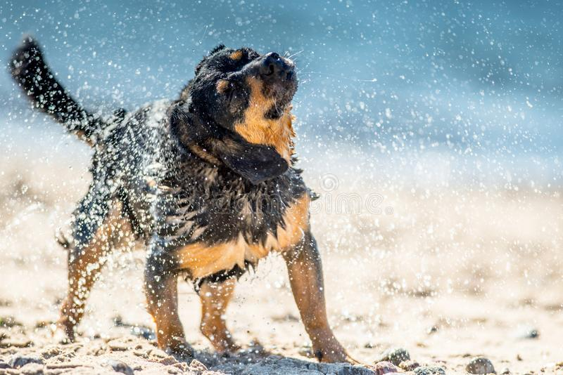 Wet dog shaking. Water off coat and water droplets visible. Background of blue sea royalty free stock photos