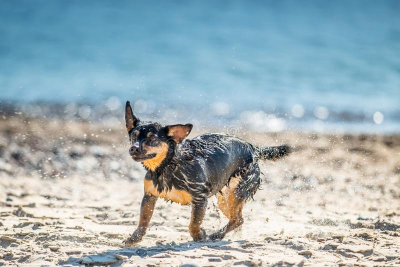 Wet dog shaking water off. Coat and water droplets visible. Background of blue sea royalty free stock photo