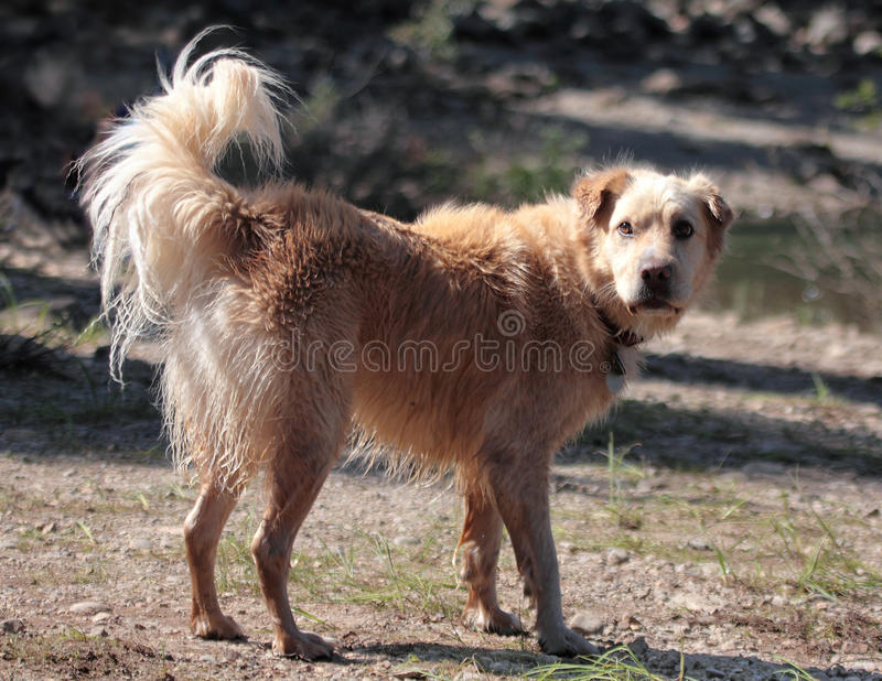 Download Wet Dog Staring stock photo. Image of tail, young, mixed - 12562830