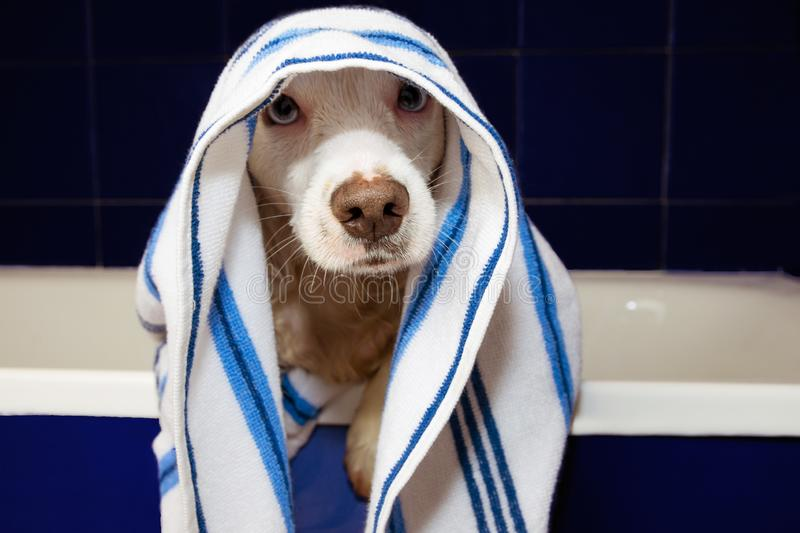 WET DOG TAKING A BATH WRAPPED WITH A STRIPPED BLUE AND WHITE TOWEL ON A BATHTUB WITH PAWS EDGE stock photos