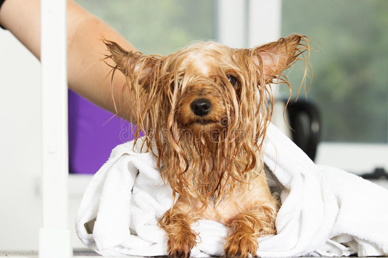 Wet dog in a towel stock photography