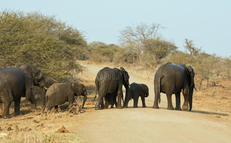 Download Wet Elephant Herd Crossing The Road Royalty Free Stock Images - Image: 17797149