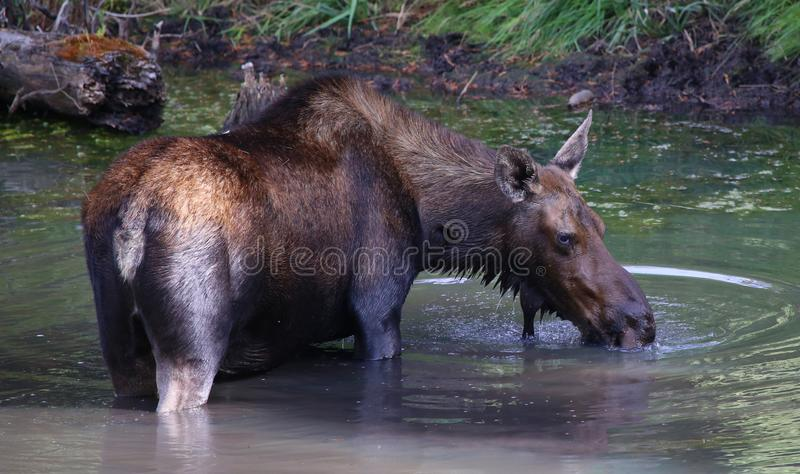 Female moose in a pond in Colorado stock photos