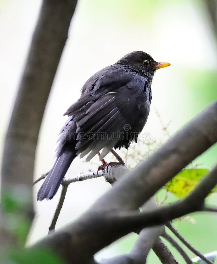 Wet fledgling blackbird royalty free stock image
