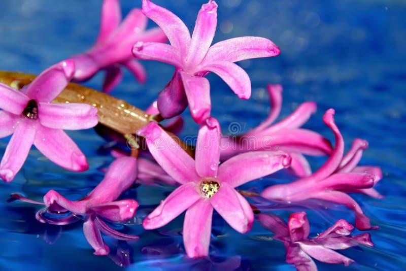 Wet Flowers Of Magenta Bellflower Royalty Free Stock Photos