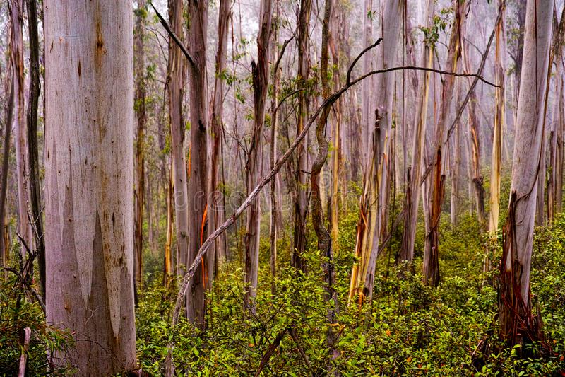 Wet foggy eucalyptus trees in Blue Mountains Australia royalty free stock images