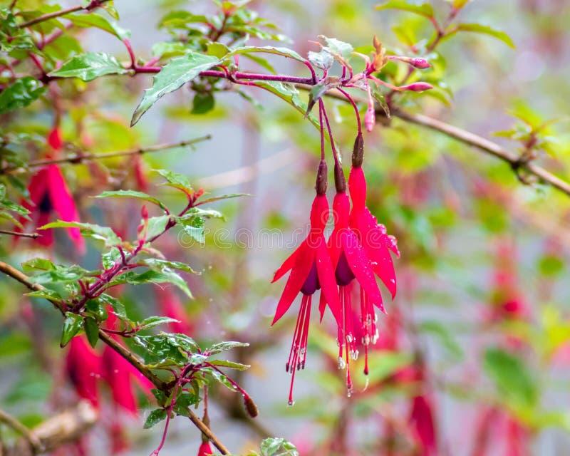 Wet Fuchsias royalty free stock photo