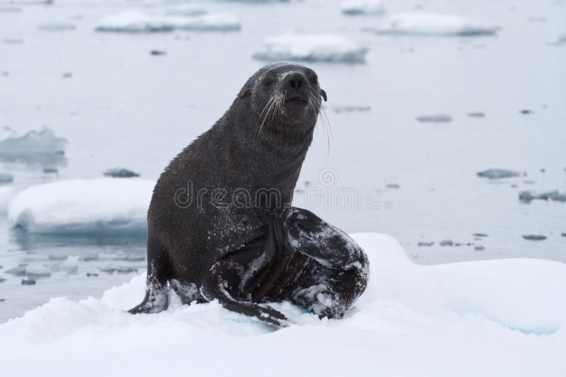Download Wet Fur Seal That Came Out To The Ice Floe On A Day Stock Photo - Image: 43739186