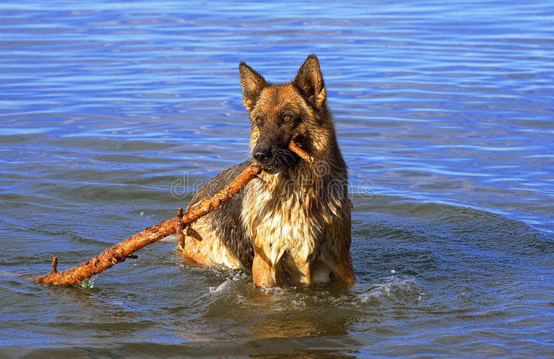 Wet Germany sheep-dog. With stick in a mouth stock photo