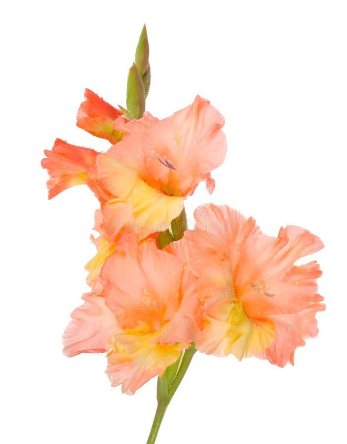 Wet gladiolus flower stock photo