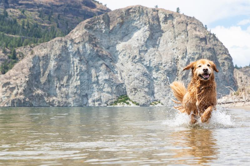 https://thumbs.dreamstime.com/b/wet-golden-retriever-dog-running-splashing-lake-roosevelt-happy-golden-retriever-dog-running-fast-splashing-lake-152976848.jpg