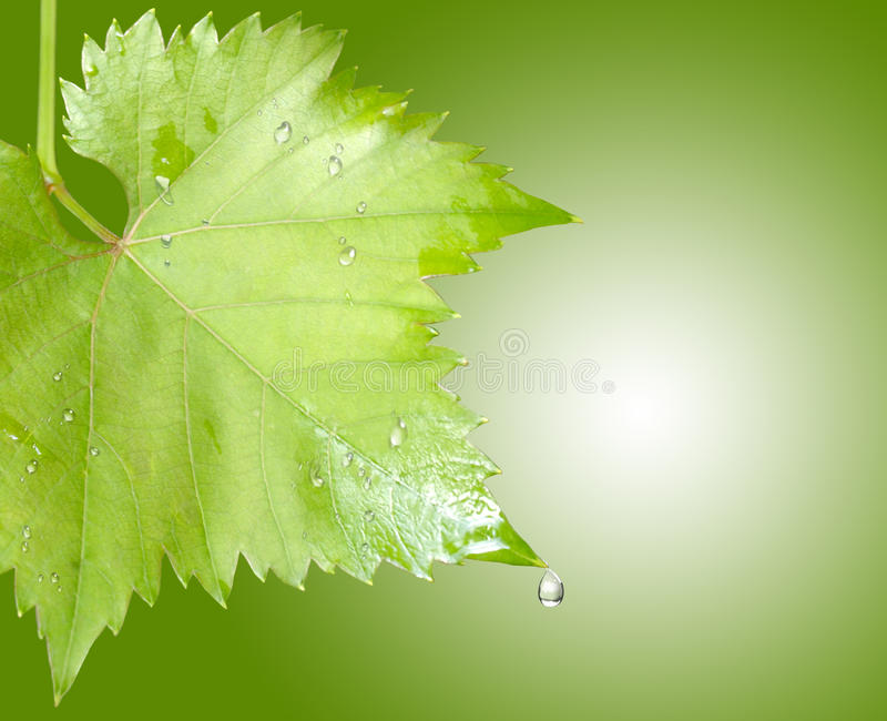Download Wet Grape Leaves Royalty Free Stock Images - Image: 15889609