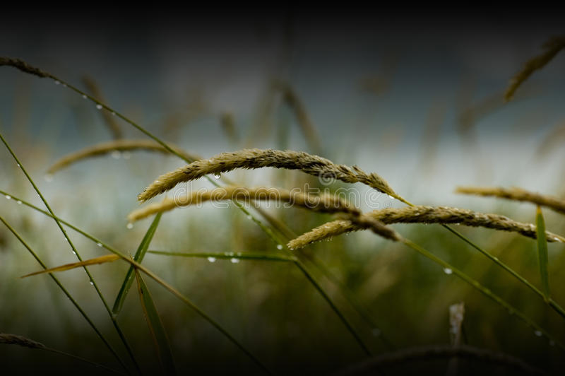 Download Wet Grass Royalty Free Stock Image - Image: 11563836