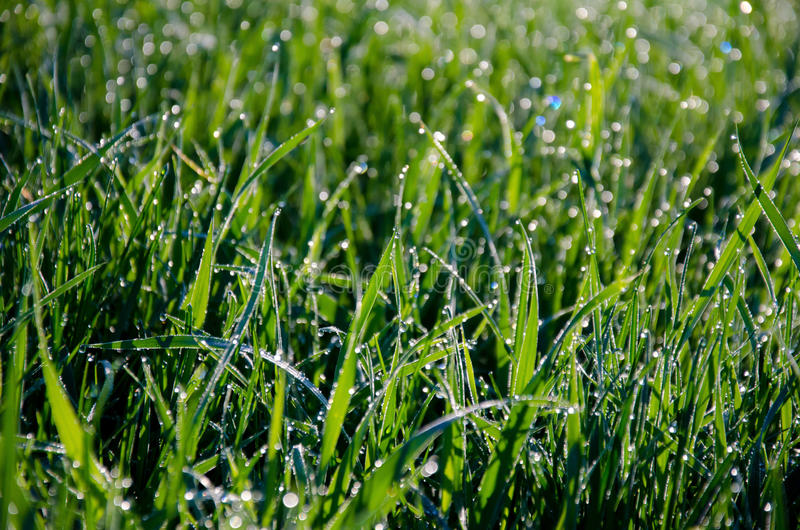 Wet grass back-lit by the rising sun. Grass in a field as it is wet with dew and back-lit by the rising sun royalty free stock photos