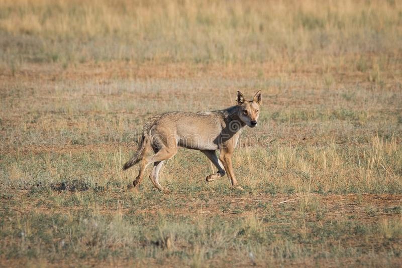 Wet Gray wolf Canis lupus runs across the field. royalty free stock images