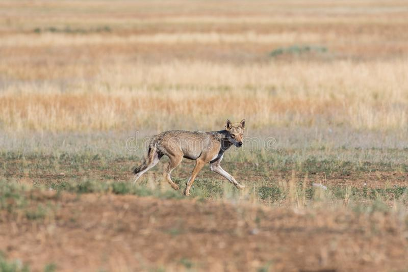 Wet Gray wolf Canis lupus runs across the field. royalty free stock photos