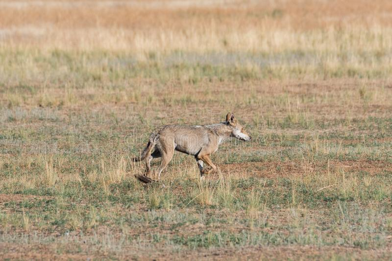 Wet Gray wolf Canis lupus runs across the field. royalty free stock photo