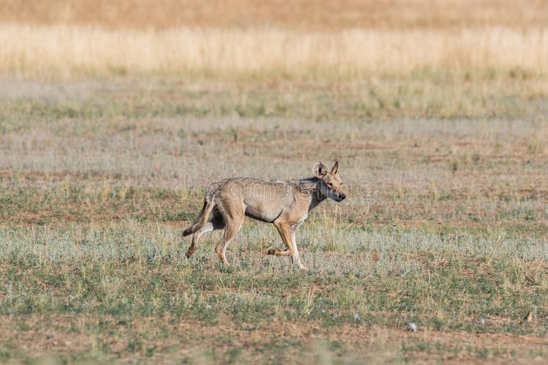 Wet Gray wolf Canis lupus runs across the field. royalty free stock image
