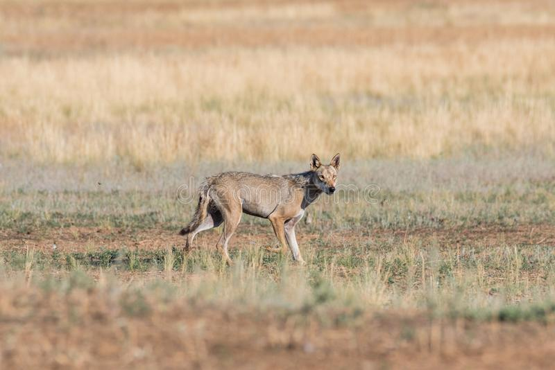 Wet Gray wolf Canis lupus runs across the field. stock photos