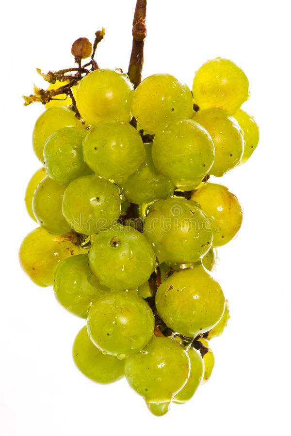 Download Wet green grapes on white stock photo. Image of ellipse - 10413524