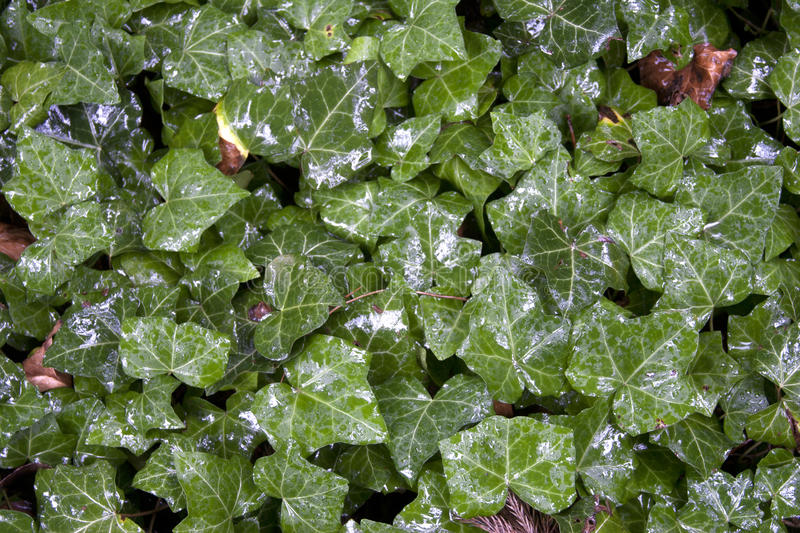 Download Wet Green Leaf Background stock image. Image of close - 41341381