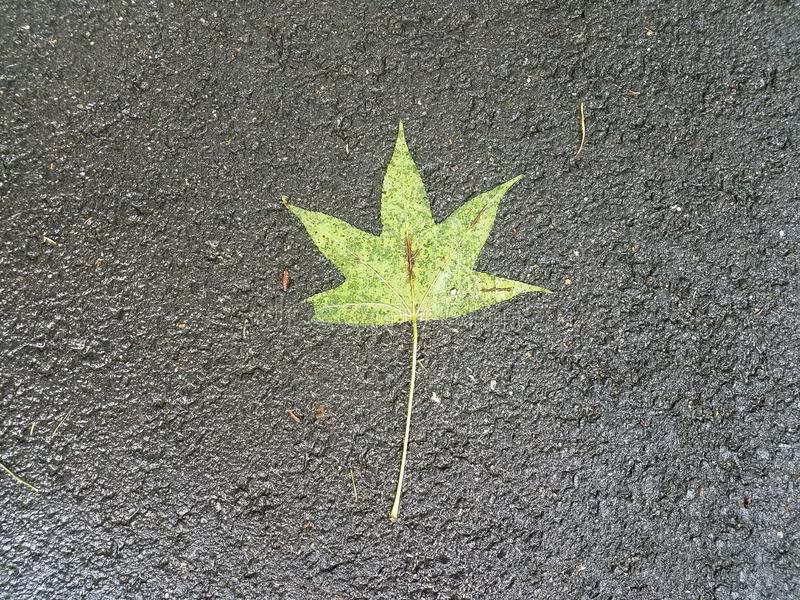 Wet green leaf on the ground with black asphalt. Or pavement stock images