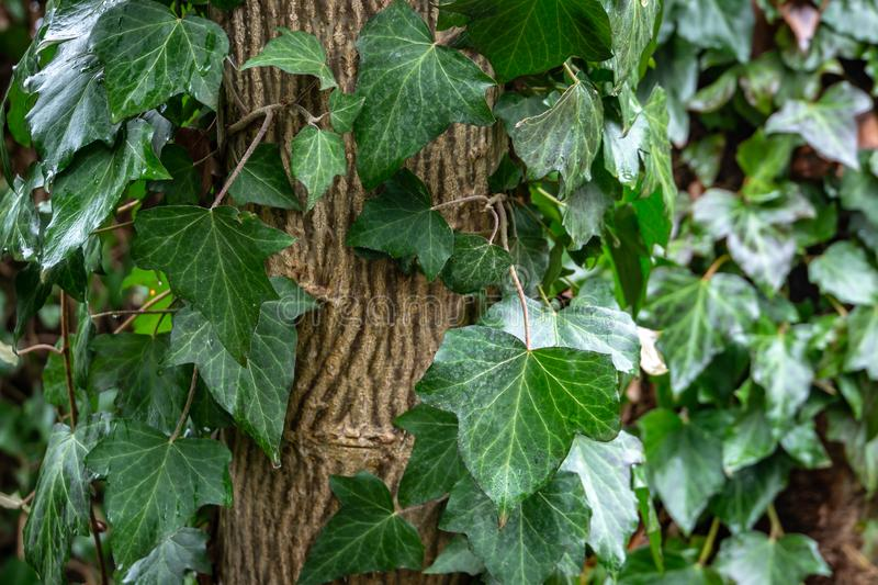 Wet green leaves of common ivy Hedera helix, or european ivy, english ivy crawling up the white walnut tree. royalty free stock images