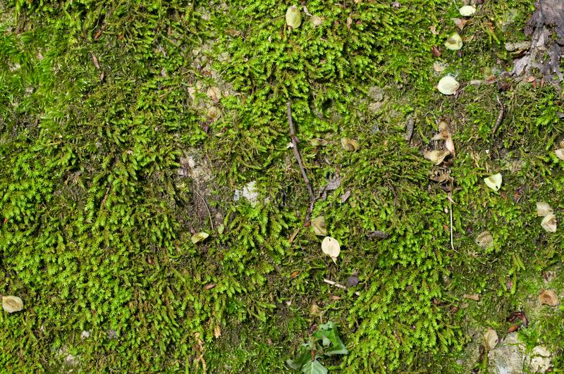 Wet green moss background royalty free stock photo