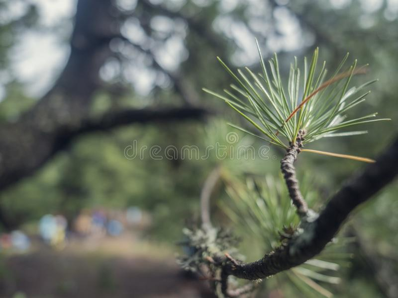 Wet green pine tree brunches with needles closeup. Green spruce after rain in the wood. Pine tee texture background. stock photo