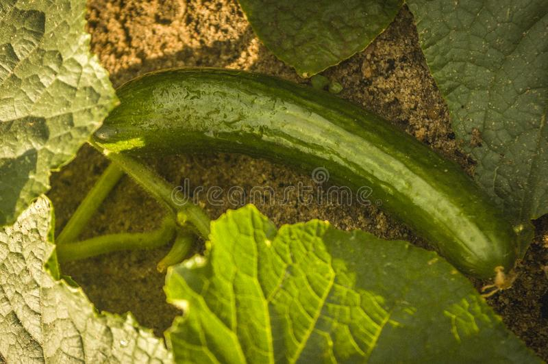 Wet green ripe cucumber lying on the ground with cucumber plant. After rain royalty free stock images