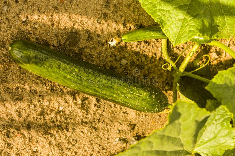 Wet green ripe cucumber lying on the ground with cucumber plant. After rain stock photography