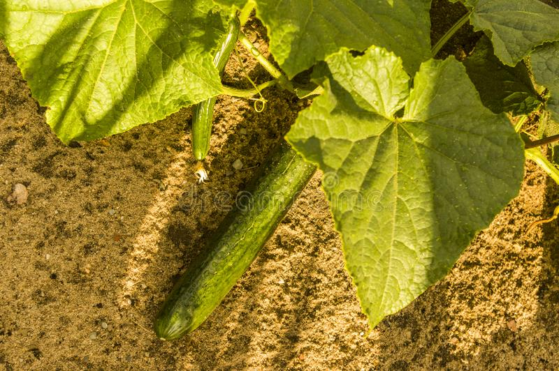 Wet green ripe cucumber lying on the ground with cucumber plant. After rain royalty free stock photo